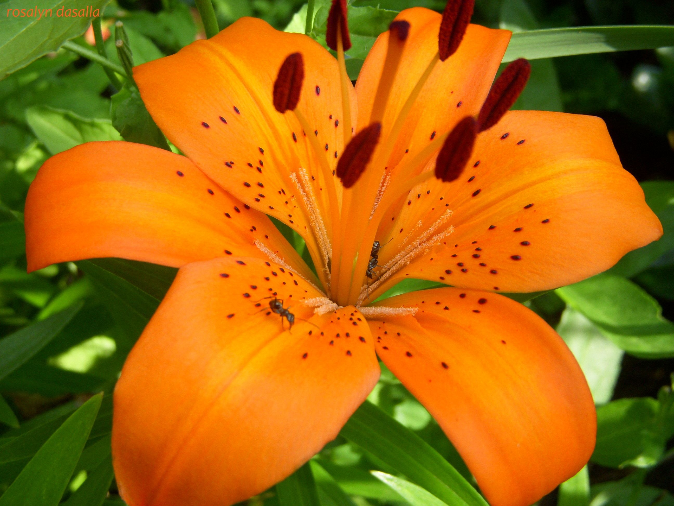 Tiger lily orange wallpaper things i like pinterest tigers tiger lily orange wallpaper izmirmasajfo Images
