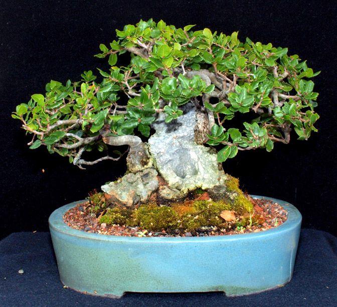 oak bonsai | Dwarf Coast Live Oak