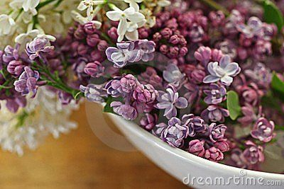 Purple And White Lilacs Lilacs Are Frequently Considered A Harbinger Of Spring With The Time Of Their Bloom Signaling Whether Purple Lilac White Bowls Lilac