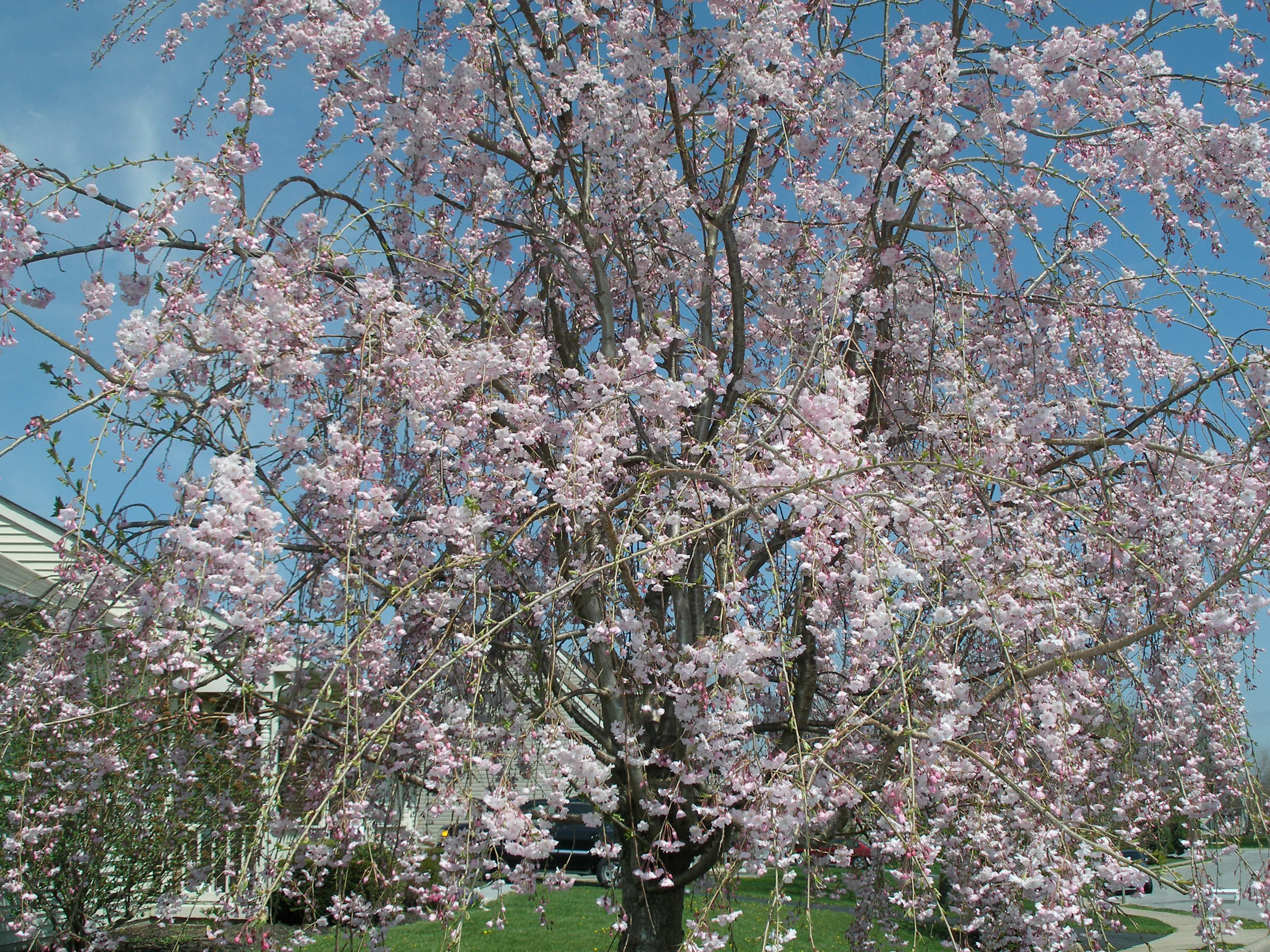 Can T Wait Till My Non Fruiting Not Sure Of The Proper Terminology Cherry Tree Looks Like This Again Cherry Tree Outdoor Plants