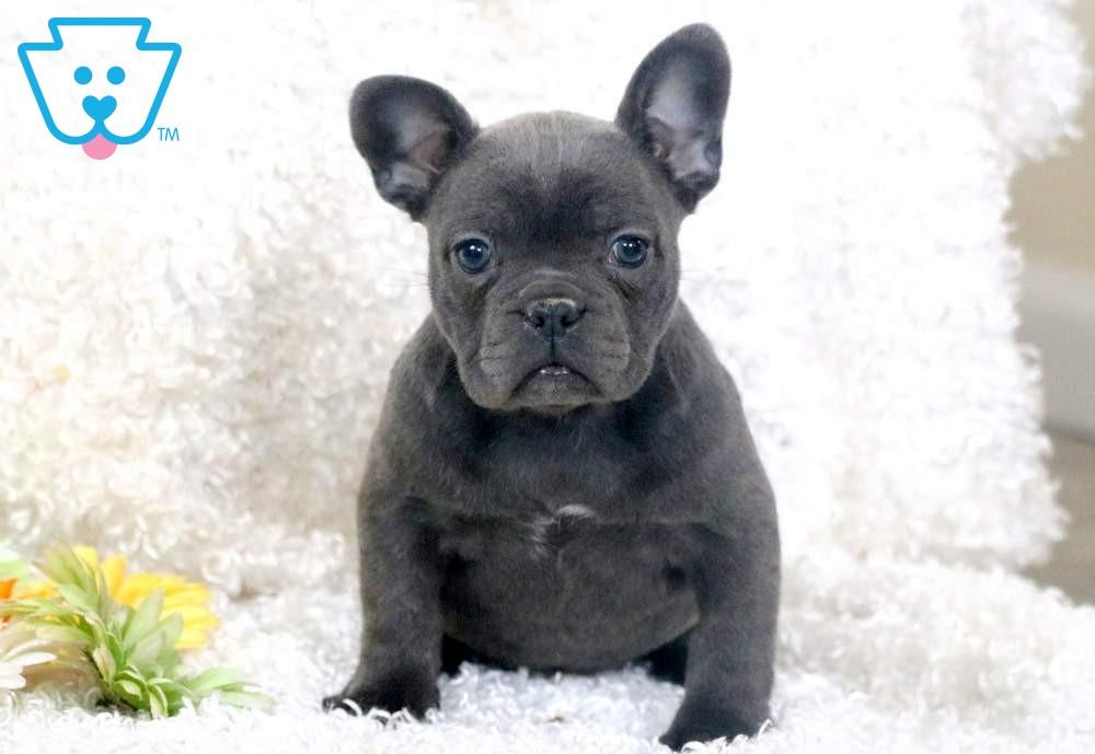 Charm French Bulldog Puppy For Sale Keystone Puppies In 2020 Bulldog Puppies French Bulldog Puppies Bulldog Puppies For Sale