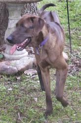 Mileaux Is An Adoptable Rhodesian Ridgeback Dog In Baton Rouge La