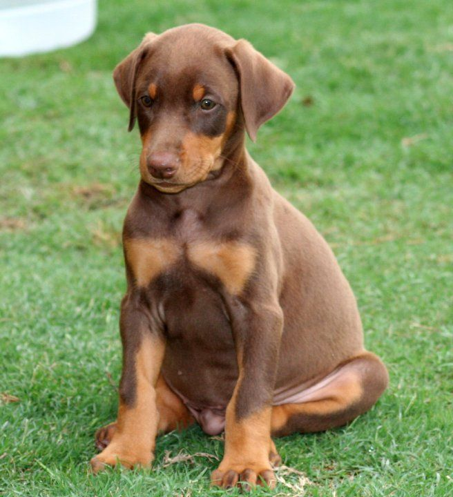 Brown Dobie Garret Dobes Find On Facebook Doberman Love