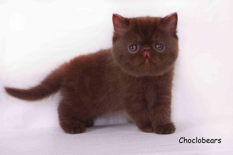 Chocolate Exotic Shorthair KittenMy chocolate short hair