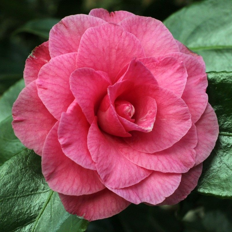 Betty Sheffield Pink Camellia Japonica Most Beautiful Flowers Pink Plant Flower Background Wallpaper