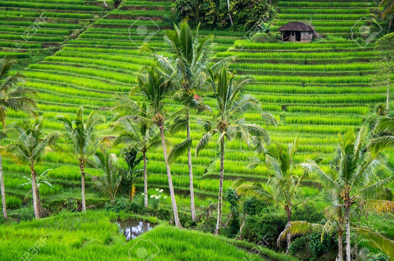 Les rizières en terrasses de l'île de Bali, Jatiluwih