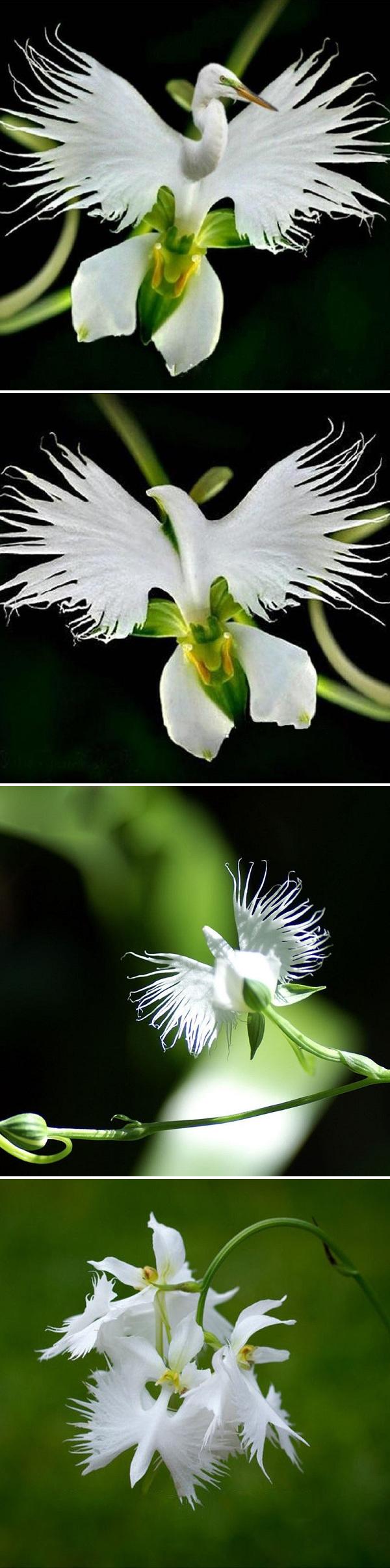 Us pcs japanese egret flowers seeds white egret orchid seeds