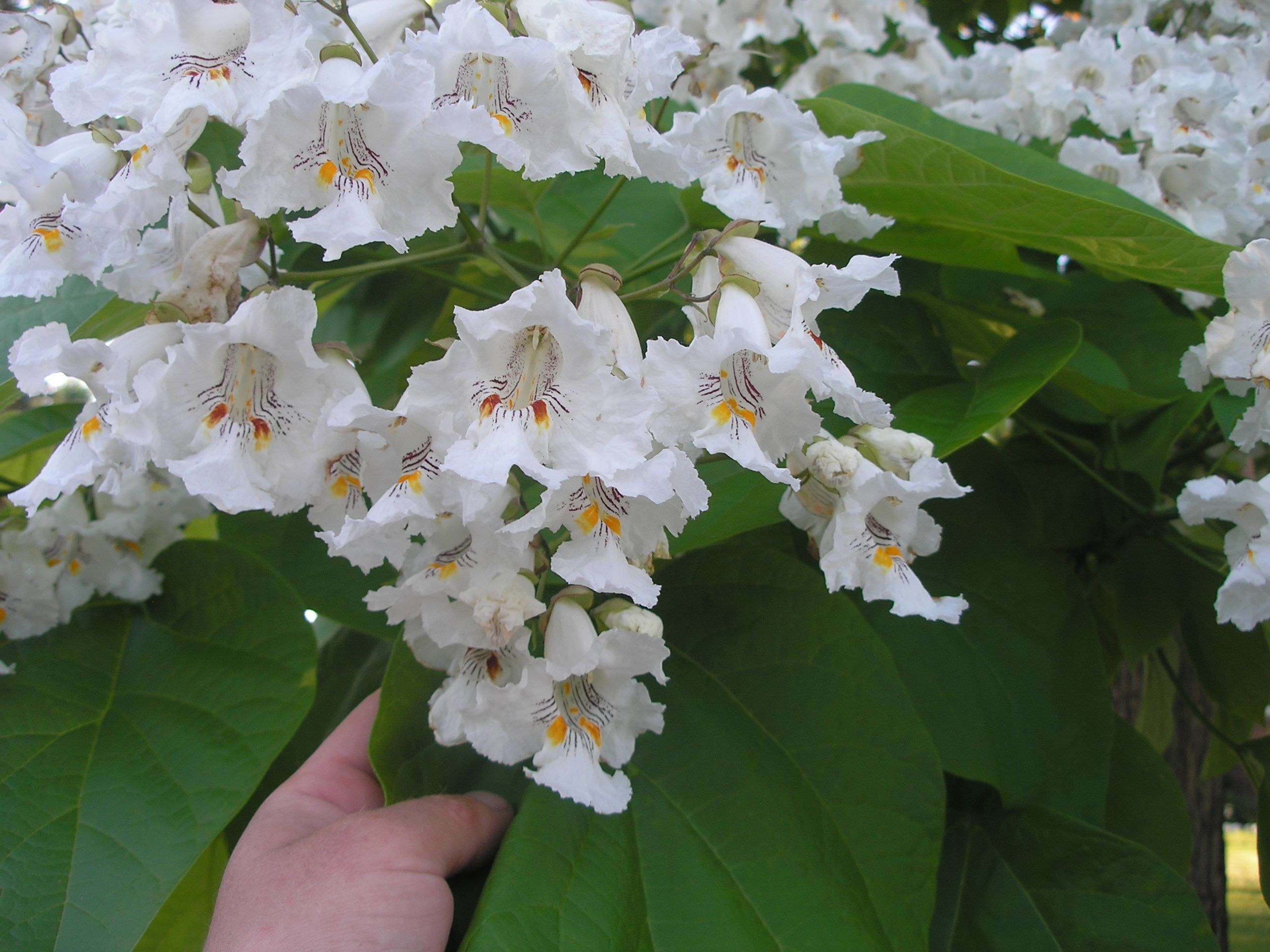 Northern Catalpas Are Beautiful Trees Here Is A Close Up Of Their