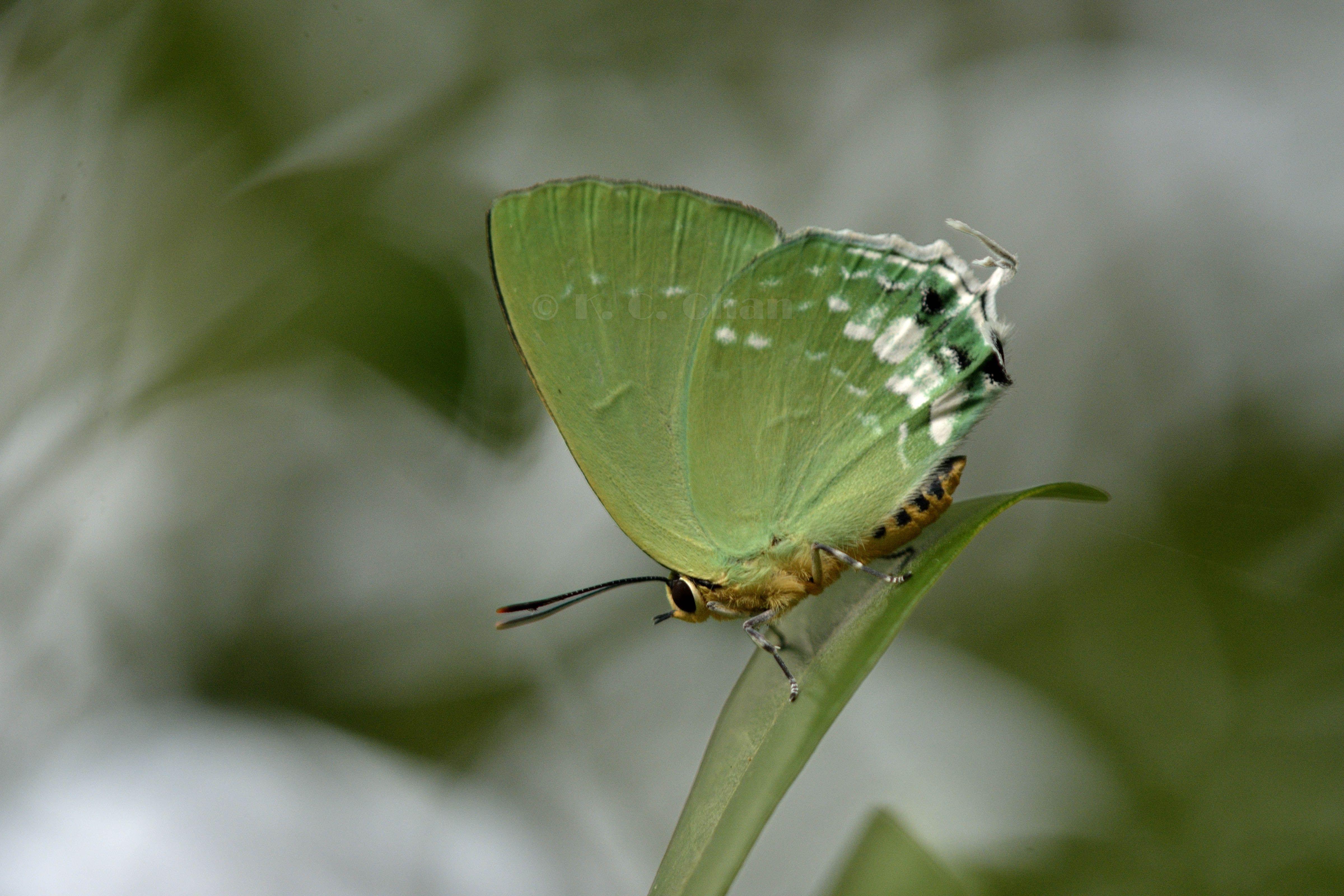 綠灰蝶 Artipe eryx