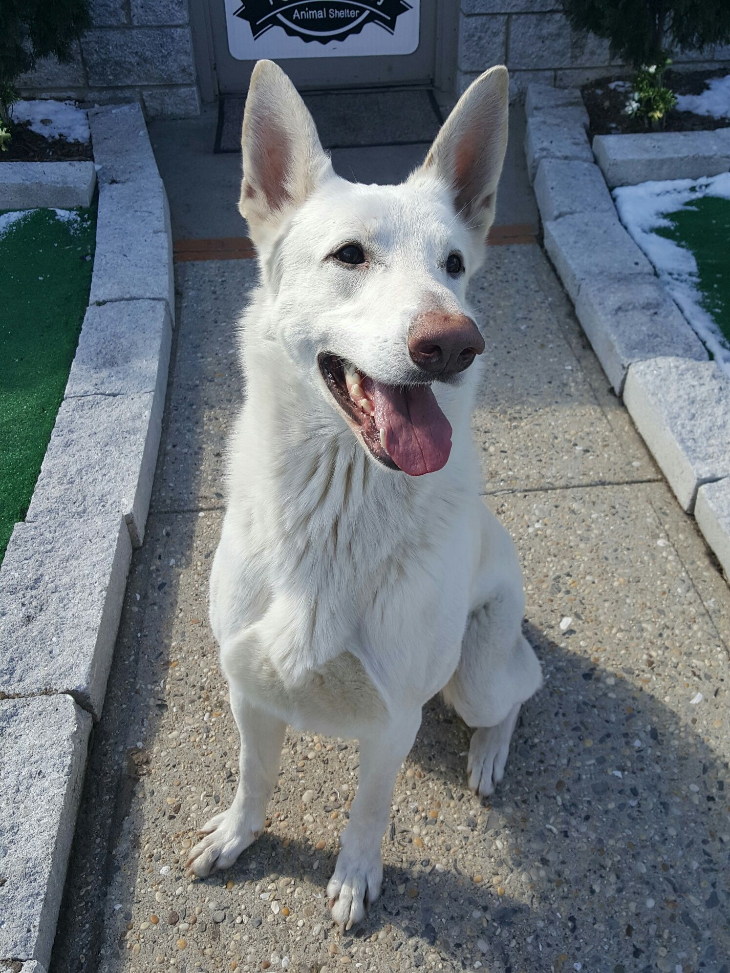 German Shepherd Dog Dog For Adoption In Perth Amboy Nj Adn