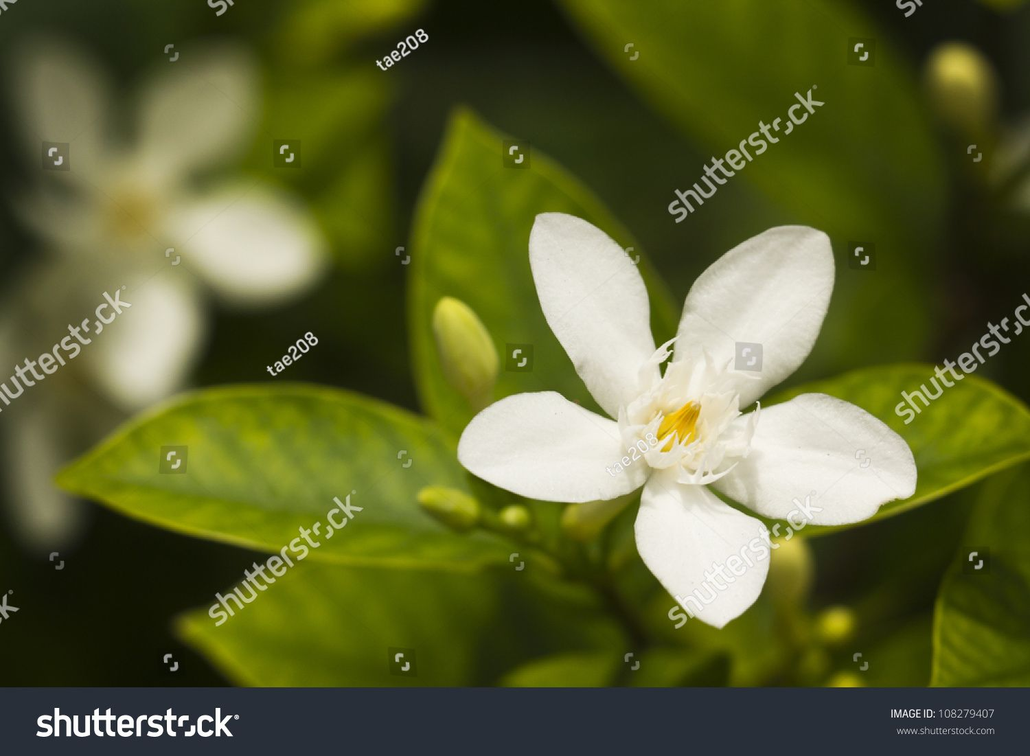 Stock Photo Thai White Jasmine Flower In The Garden 108279407g