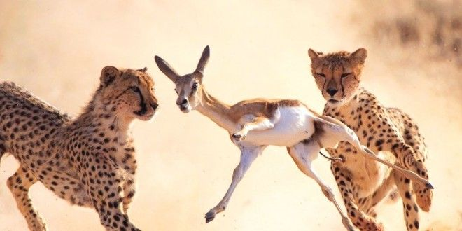 Wild Tigers Attack On Antelope Hiran Free Download Hd Wallpapers