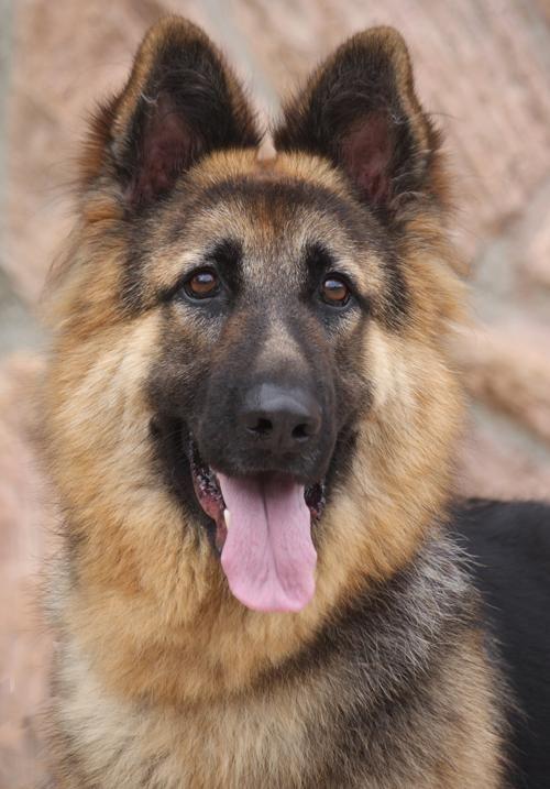 Adopt Zorko Von Zelig I On German Shepherd Dogs Shepherd Dog New Puppy