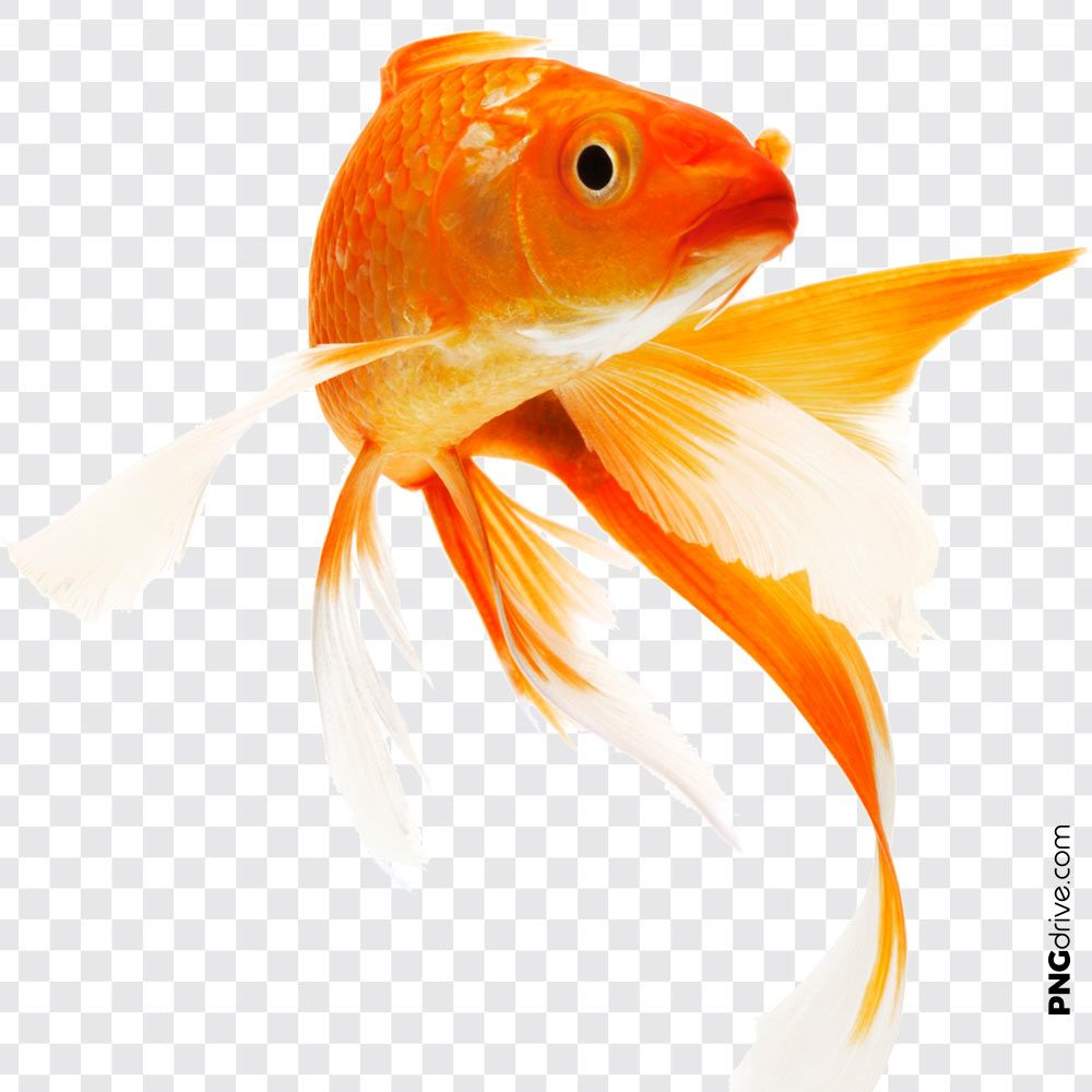 Pin By Png Drive On Gold Fish Png Golden Fish Fish Poster Artwork