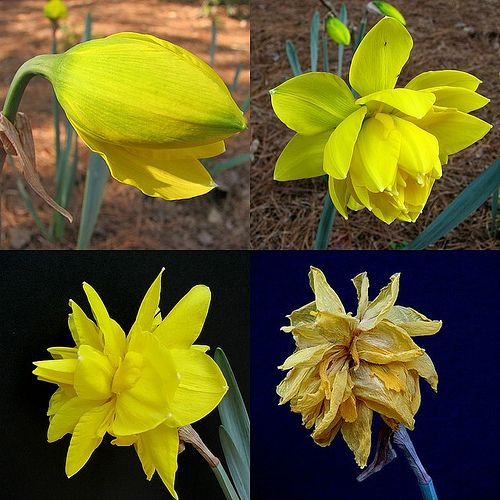 Daffodil Life Cycle Reference Daffodils Cool Photos Porcelain Art