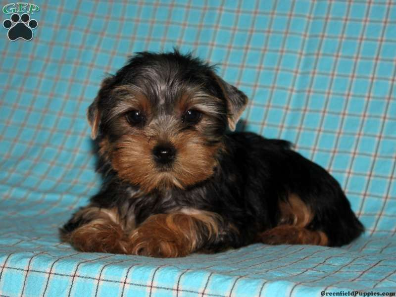 Hillary Yorkie Puppy For Sale From Lititz Pa Breeder John Stoltzfus Yorkie Yorkie Puppy Yorkie Puppy For Sale
