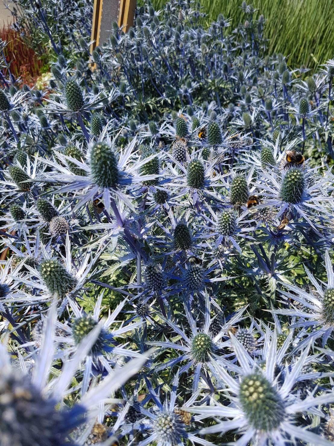 Edeldistel Eryngium Planum Gunstig Online Kaufen Pflanzen Edeldistel Pflanzen Bestellen