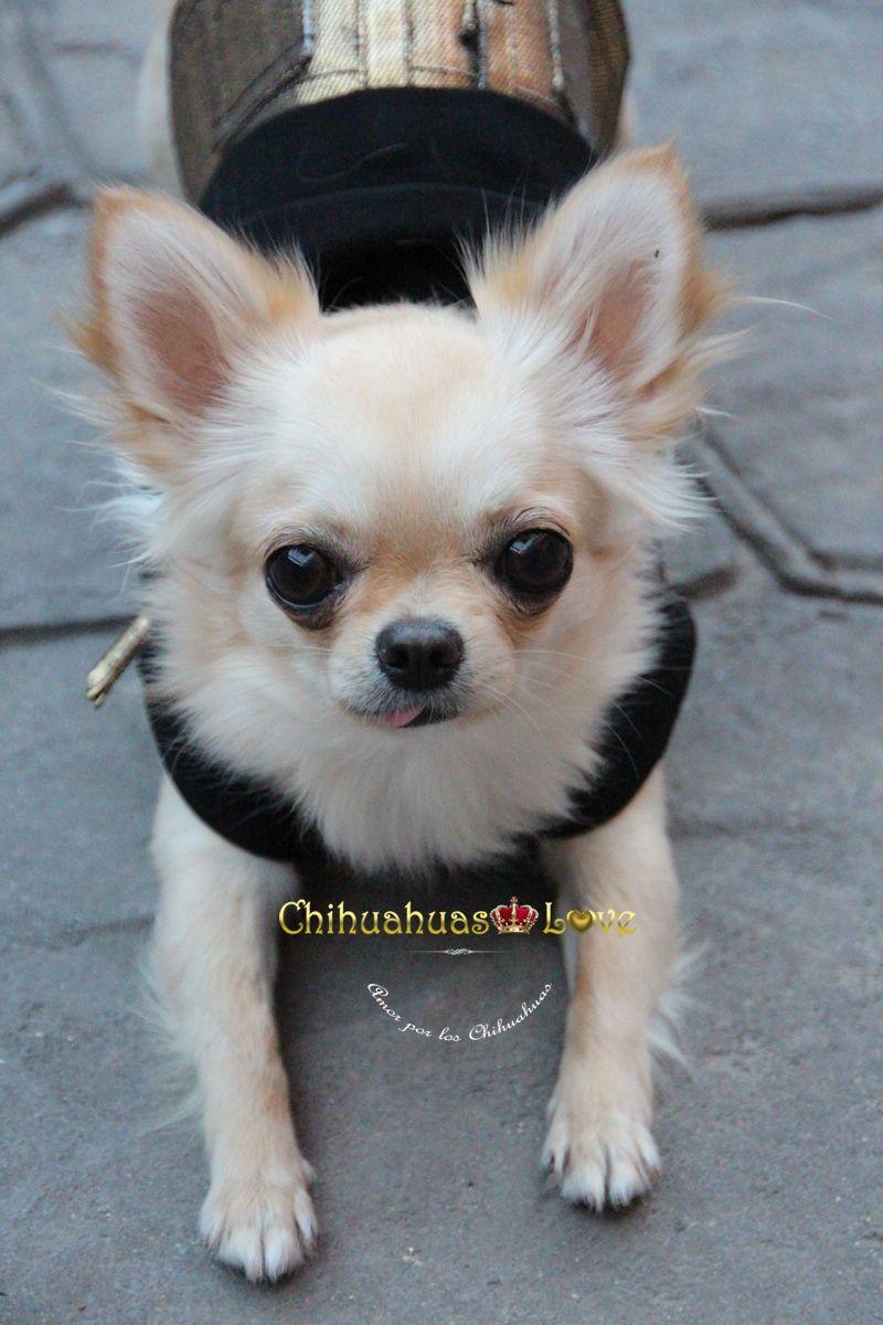 Die Besten 25 Chihuahua Welpen Langhaar Ideen Auf