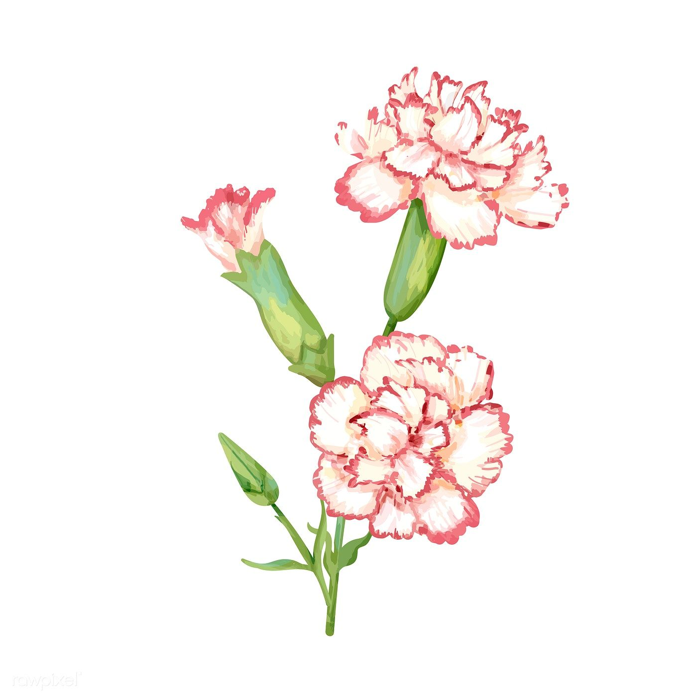 Download Premium Vector Of Hand Drawn Carnation Flower Illustration 421447 Flower Illustration Carnation Flower Tattoo Carnation Flower