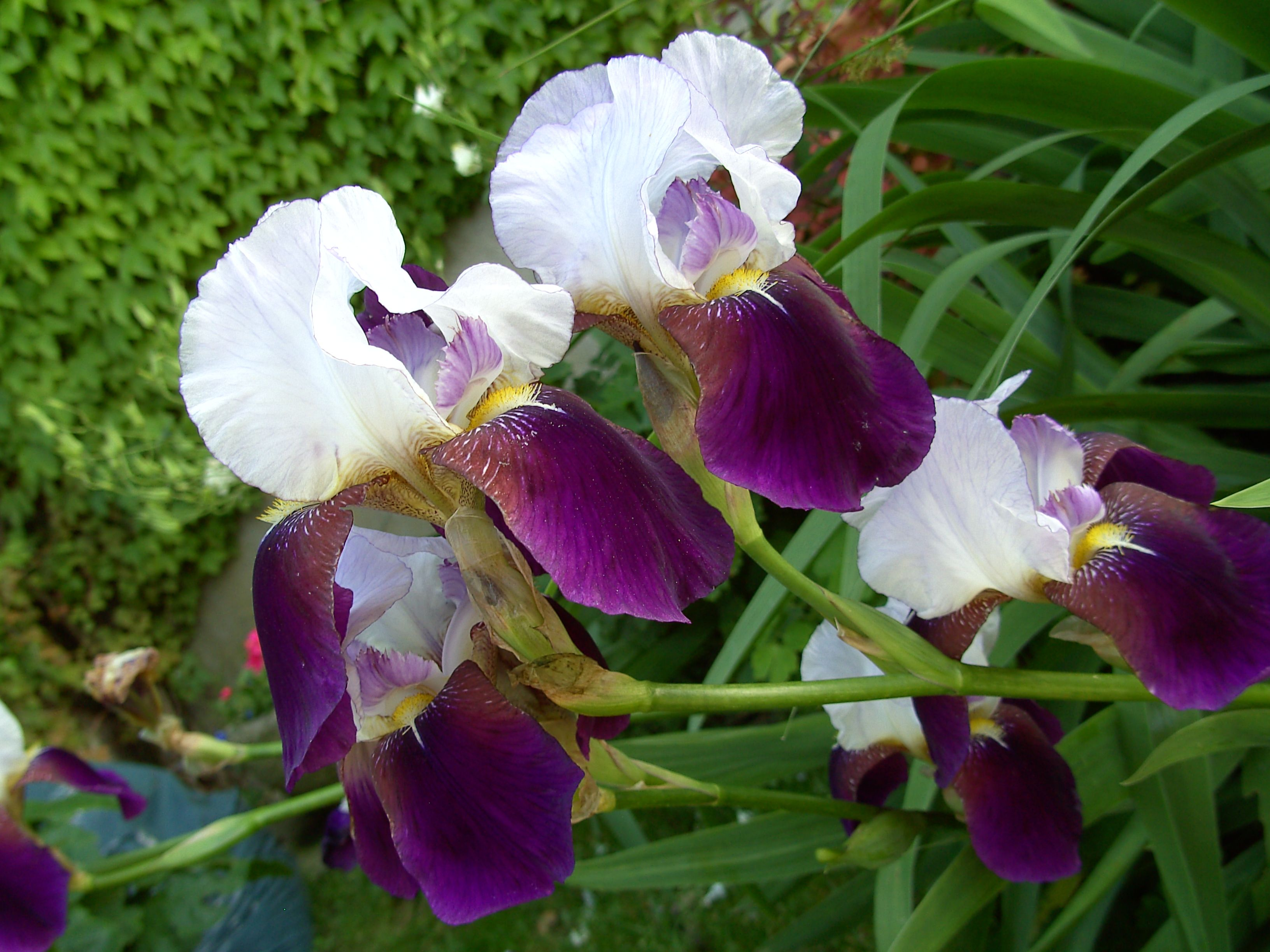 Really Pretty Iris Another Of My Faves Flowers And Gardens