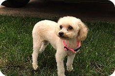 Doylestown Pa Miniature Poodle Mix Meet Dolly A Dog For Adoption Http Www Adoptapet Com Pet 13331 Miniature Poodle Miniature Poodle Mix Poodle Mix Dogs