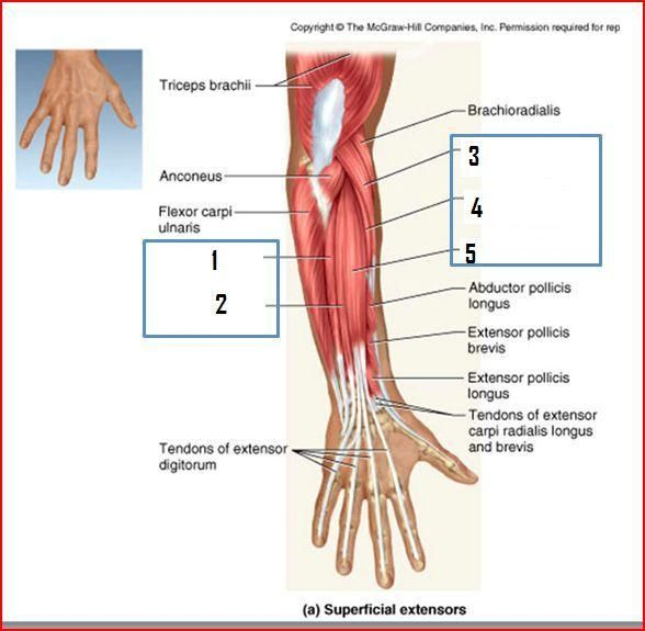 Extensor Carpi Radialis Google 検索 Carpi Anatomy Study Hands