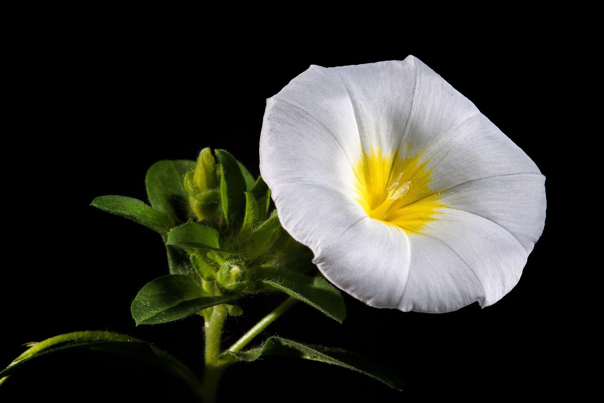 Morning Glory 11090911920g 19201281 Flowers Black White