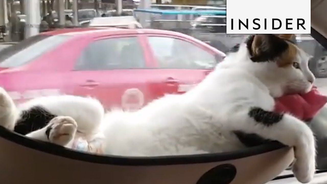 Window bed for cats  you know just a cat on a hammock sleeping in a car like you