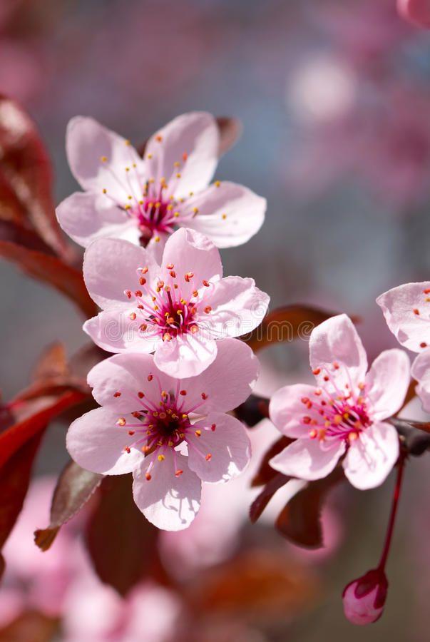 Pink Cherry Blossom In Full Bloom Spon Cherry Pink Blossom Bloom Full Ad Cherry Blossom Flowers Cherry Blooms Cherry Blossom Art