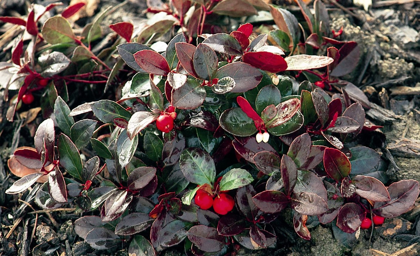 Creeping wintergreen for shade garden on north side