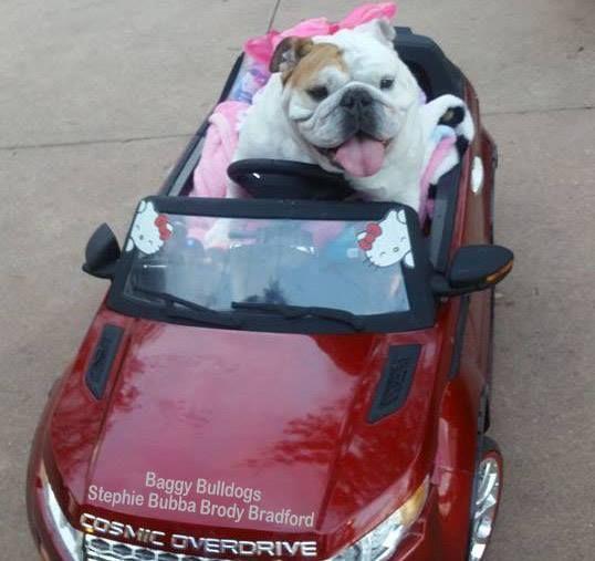 Baggy Bulldogs Bulldog Bulldog Funny English Bulldog