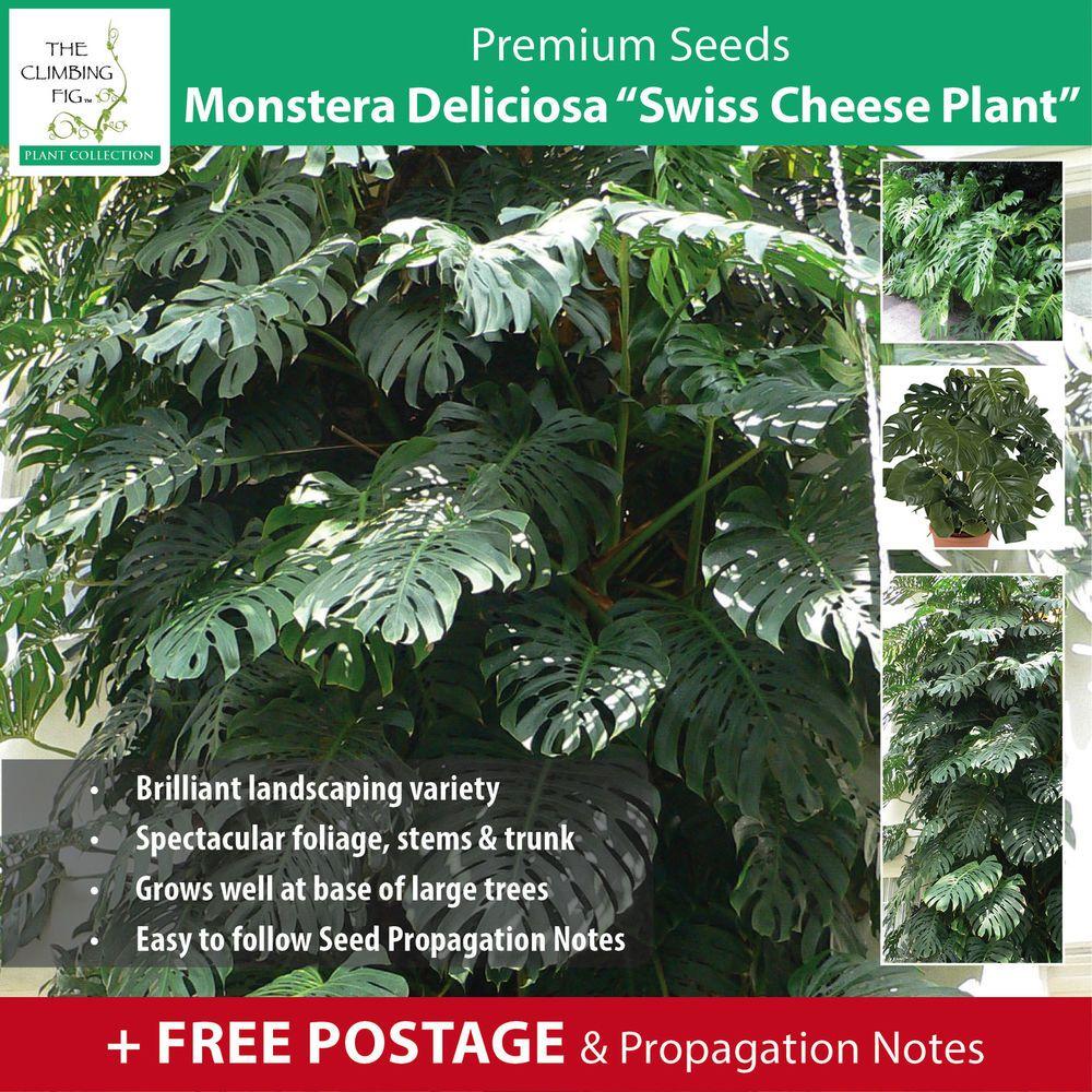 Monstera Deliciosa Swiss Cheese Plant seeds Rare climbing – Rare Garden Plants
