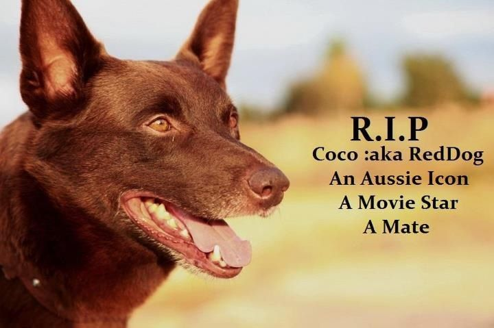 Red Dog Great Australian Movie Dog Movies Australian Kelpie