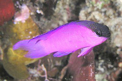 Black Cap Gramma Price 209 Saltwater Aquarium Fish Aquarium Fish Tank Fish