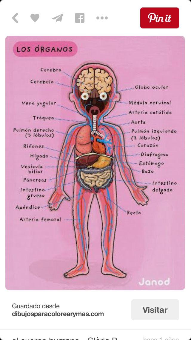 Dibujo con los órganos del cuerpo humano. | ANATOMIA | Pinterest ...
