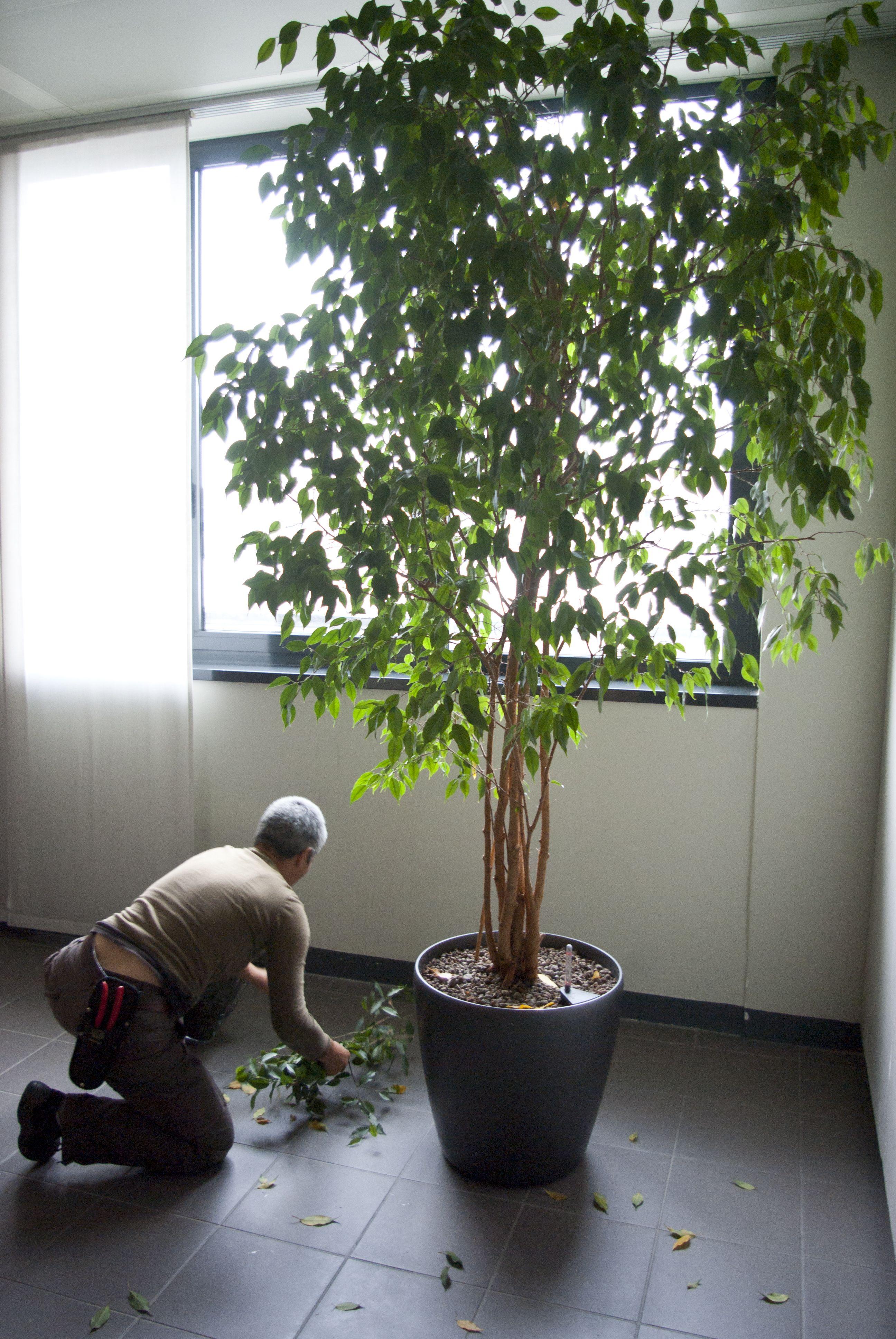 Cura Del Ficus Benjamin pin su volvo