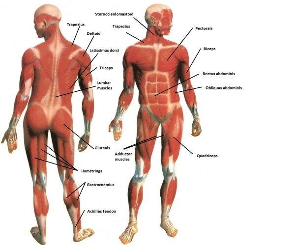 Basic body muscle names with image | Fitness & workouts ...