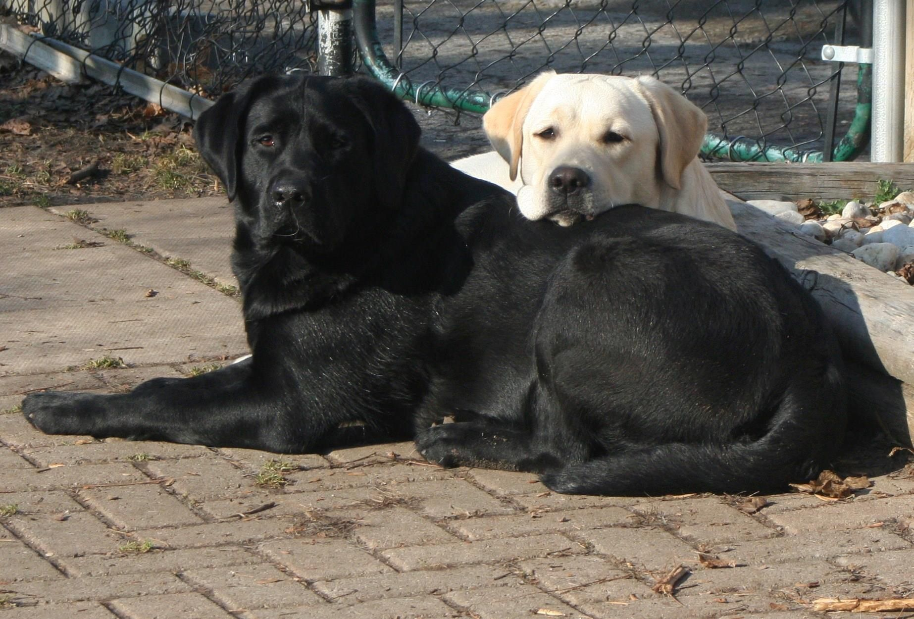 What A Gorgeous Pair Of Labs They Are Like Chips You Cannot Have Just 1 Dog Lovers Black Labrador
