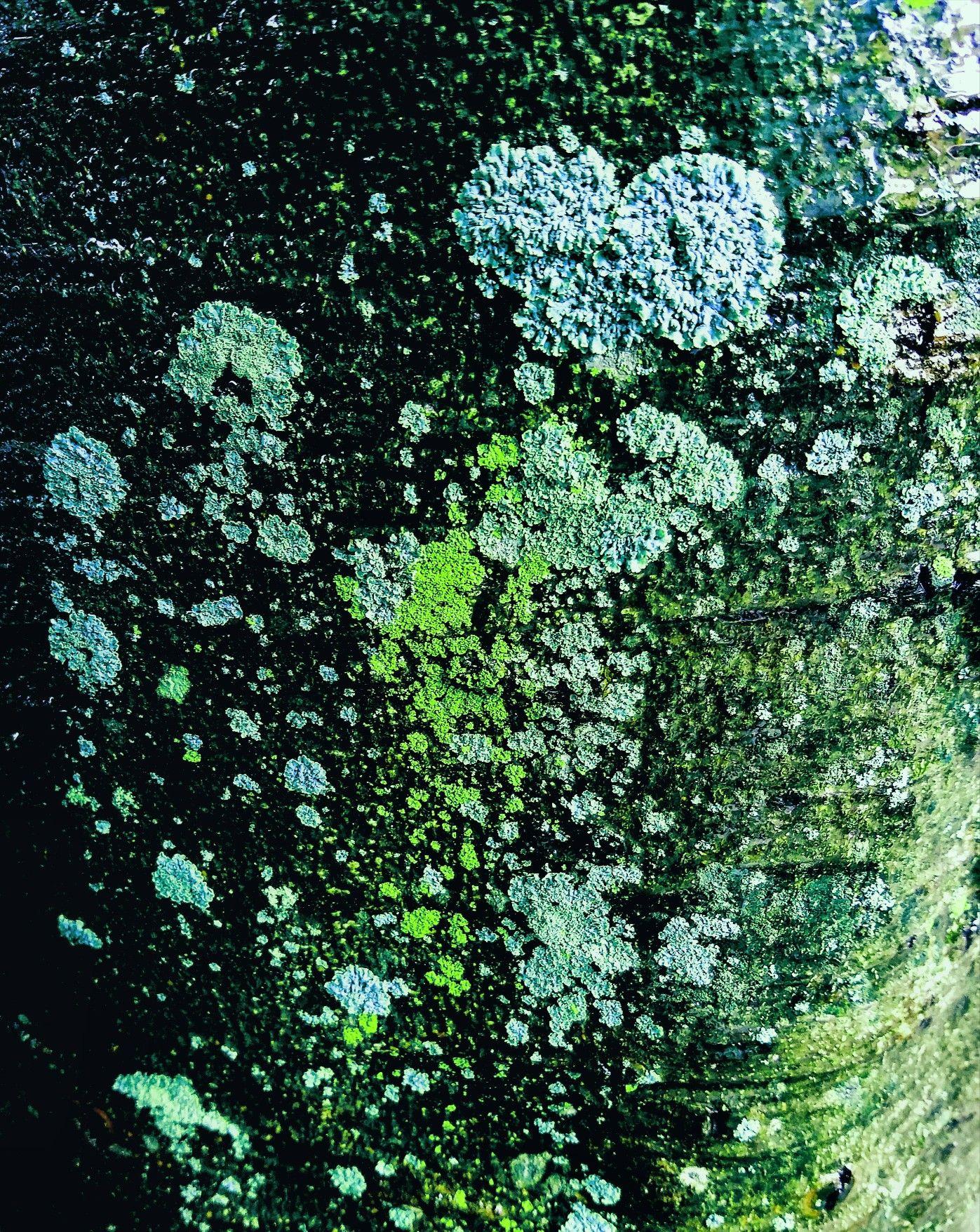 Lichens. Photography by #Koonartdesign, #textures, #tree