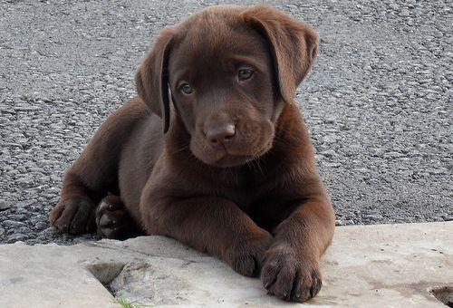 Baby Dudley | Perro labrador, Animales perros, Perros