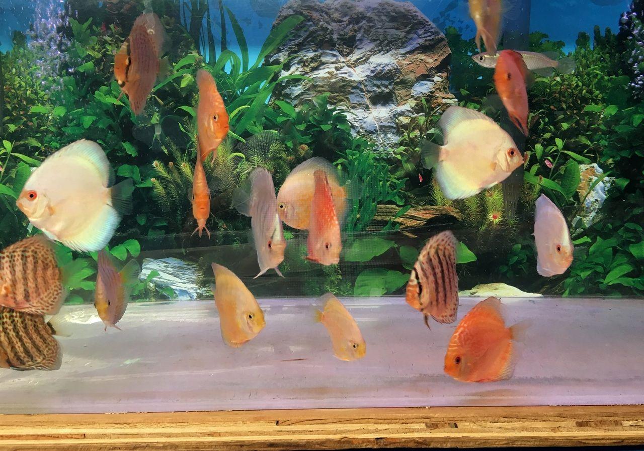 Asst Discus Discus Fish Discus Fish For Sale Discus