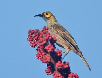 The Kadavu Honeyeater is one of the Kadavu endemics and is easily seen around our cosy lodge (Mark Van Beirs).