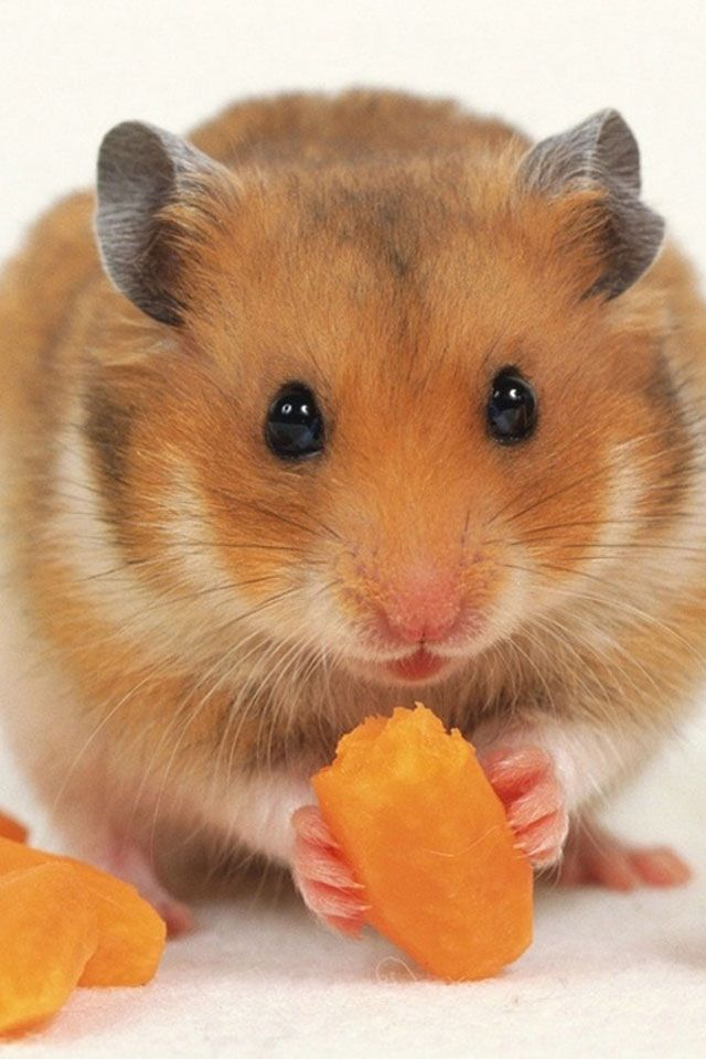 What Im Not Talking With My Mouth Full Of So Juicy Carrots That I - Hamster bartenders cutest thing youve ever seen