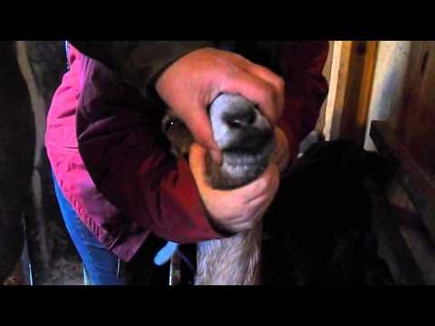 Deworming Goats/How to hold them