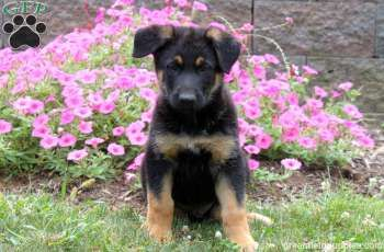 Otter German Shepherd Puppy For Sale In Holtwood Pa German
