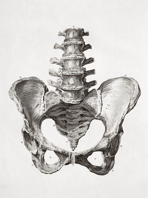 Scientific Illustration Hip Bones Are Lovely 3 Animal Headsgeo