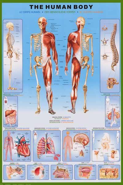 anatomy of the human body medical diagram educational poster 24x36 –  bananaroad