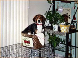 Grey Muzzle S Grant Funding Helps Penny S Angels Beagle Rescue