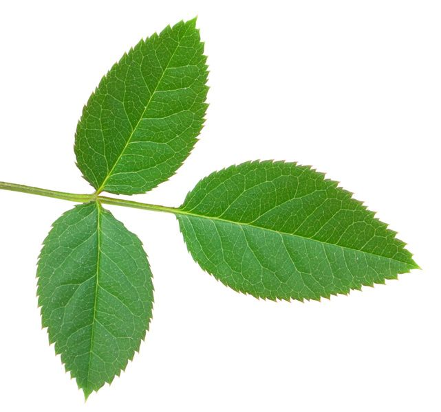 Example Of A Rose Leaf Bevs Flowers And Leaves