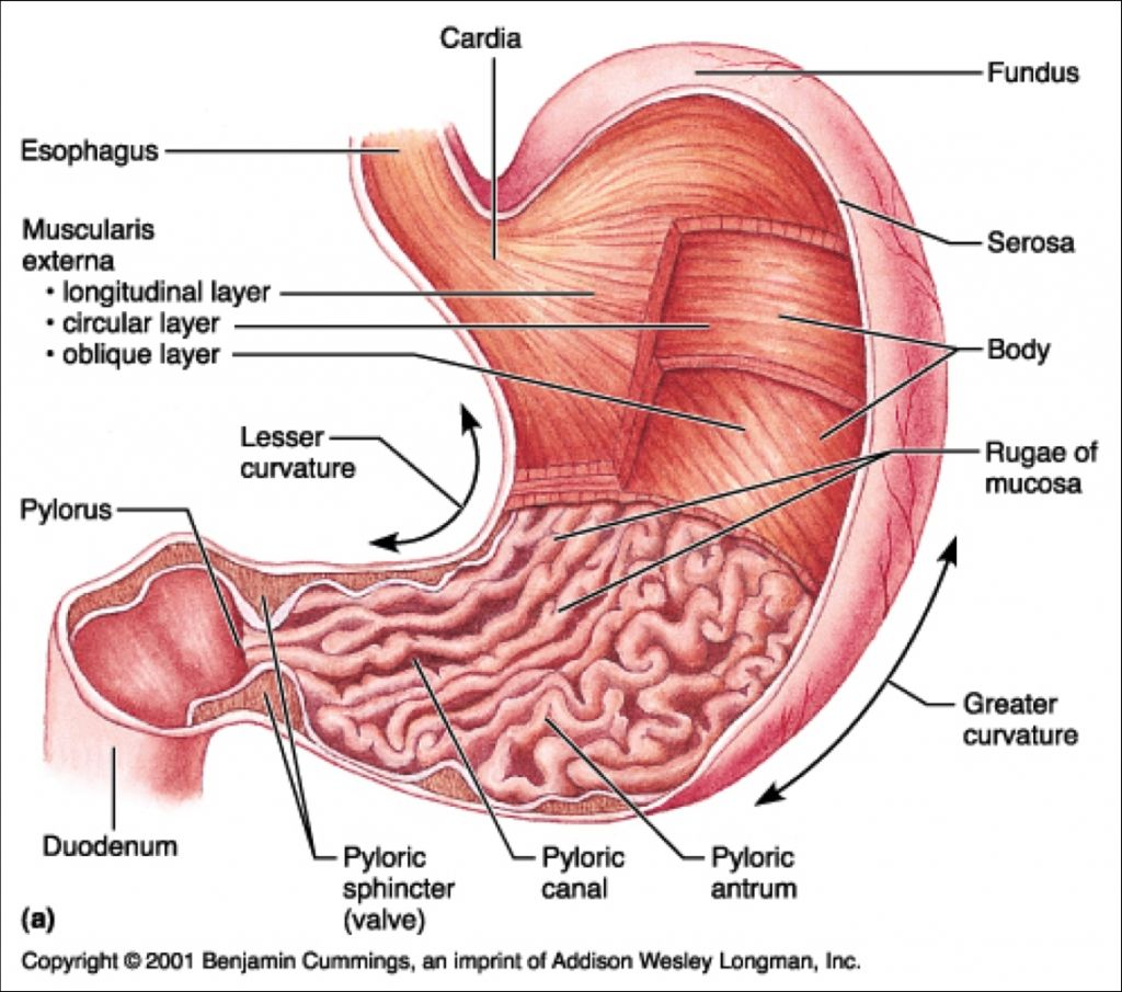 Stomach anatomy diagram where is your abdomen located ethan stomach anatomy diagram where is your abdomen located ccuart Image collections